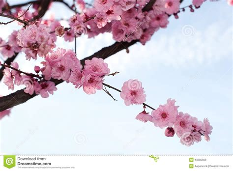 Branch Of Japanese Cherry Blossom Stock Image Image of