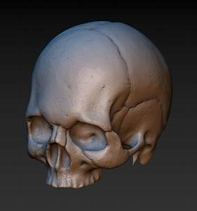 3d Printed Skull  Without The Lower Jaw  By Kovalev14