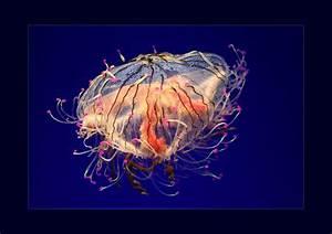 Flower Hat Jellyfish by itscheryl on DeviantArt