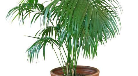 plante de cuisine kentia entretien arrossage et rempotage