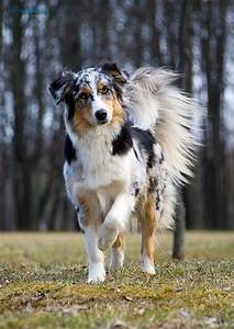 Border collies, Collie and Blue merle on Pinterest