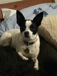 Chihuahua Rat Terrier Puppies