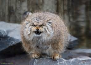 pallas cat the manul cat is the most expressive cat in the world