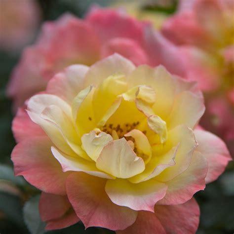 rose oso easy italian ice white flower farm