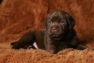 Chocolate Labrador Retriever Dog Breeds