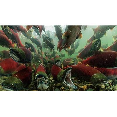 Photo essay: The sockeye salmon's incredible vital journey