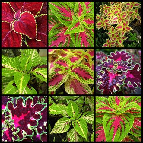 colorful plants for shade 168 best images about gardening coleus on pinterest alabama container gardening and sun