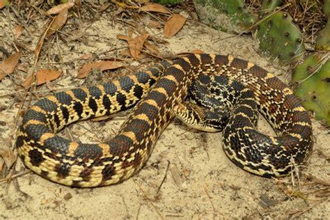 Kankakee Bull Snake (pituophis Catenifer Sayi