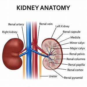 Kidney Diagram