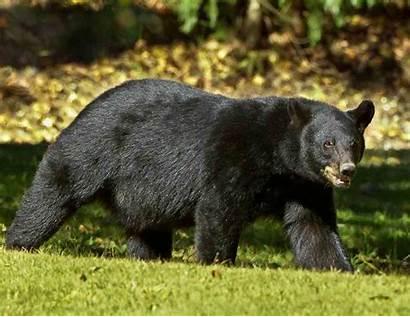 Bear Louisiana Wildlife Teddy Refuge National Features