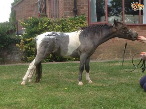 miniature horse kettering horses pets4homes ago years classifieds