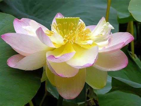 Nelumbo (Lotus) - Flowers
