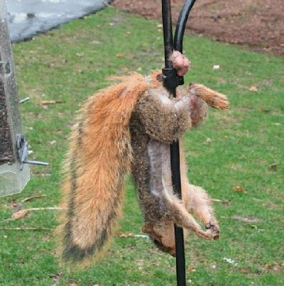 squirrel hung by nuts re new season check your nuts road forum yamaha road