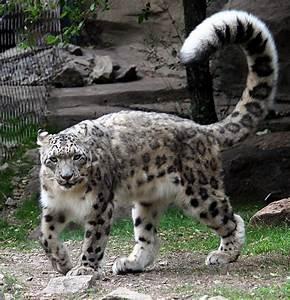 Animal En G : panth re des neiges wikip dia ~ Melissatoandfro.com Idées de Décoration
