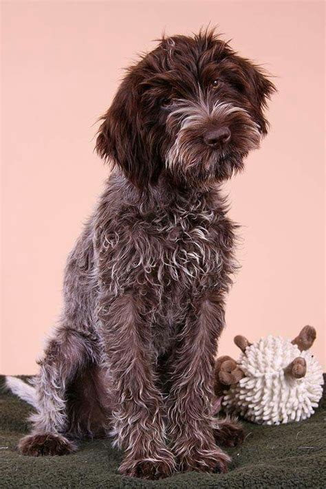 griffon german wirehaired pointer shedding 1000 ideas about wirehaired pointing griffon on