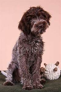139 best images about German Wirehair Pointers on ...