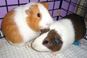 Light Brown and White Guinea Pig