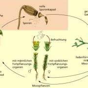 Bau Der Pflanze : ungeschlechtliche fortpflanzung in biologie ~ Lizthompson.info Haus und Dekorationen