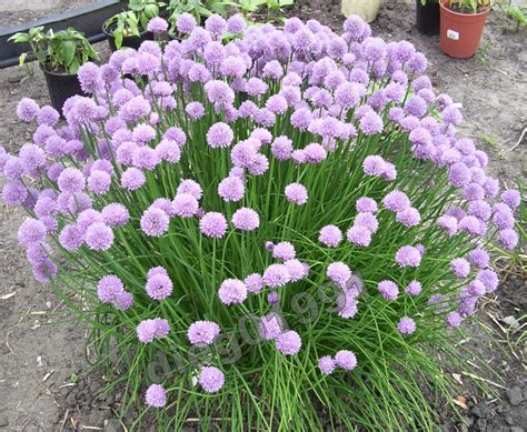 time to deadhead the chives
