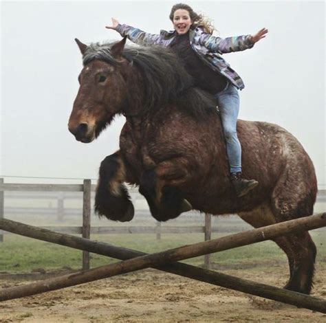 horse breeds horses largest powerful animals intelligent calm very tend scare though breed harmless they percheron