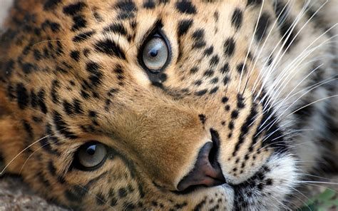 Cat Animal Wallpaper - big cat wallpaper wallpapersafari
