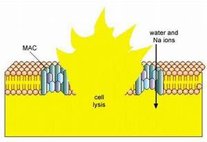 What Is Cell Lysis
