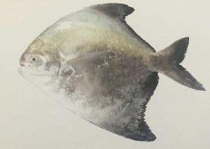 pomfrets fish  andhra pradesh manufacturers