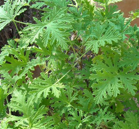 fragrant geranium nature is my elixir a world away pelargonium