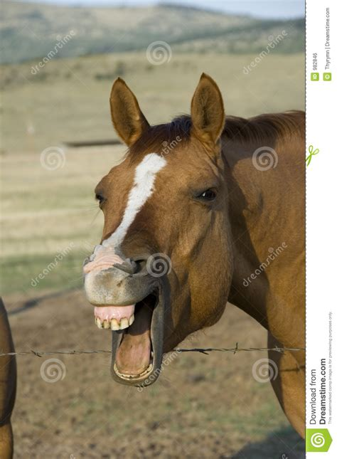laughing horse stock photo image  ranch giggle