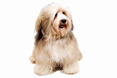 Dog Transparent Dogs Havanese Clipart Breeds Puppy