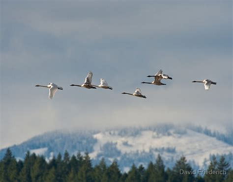 migration trumpeter swan redbubble
