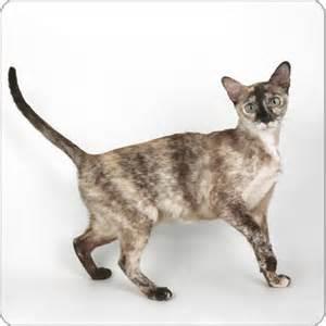 cat breeds az tonkinese cat breeds purina australia