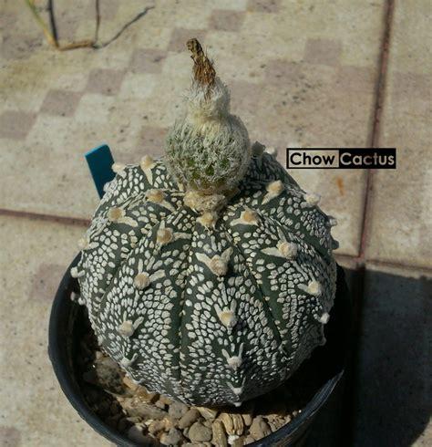 การกราฟแคคตัสบนตอริทเทอโร ( Ritterocereus ) และเรื่องราว เมื่อแคคตัสเน่า เราเลยต้องกราฟ   Chow ...