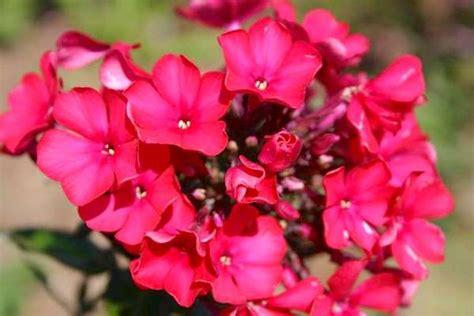 Lange Blühende Blumen by Pflanze Mit Pinken Bl 252 Ten Lueduprep