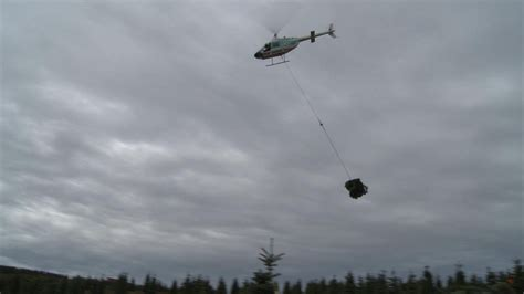 helicopters harvesting christmas trees youtube
