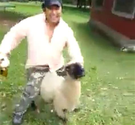 sheep dont    ridden  drunk guys