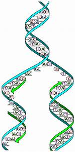 File Dna Replication Split Svg
