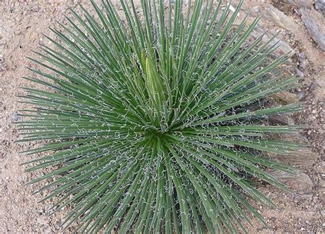 agave vaso lindas mudas agave palito geminiflora jardinagem e vasos