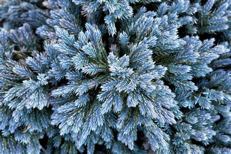 blue juniper juniperus squamata blue star blue star juniper form and foliage