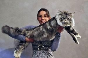 chat norvégien poids adulte