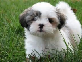 small hypoallergenic dog breeds small hypoallergenic