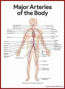 Anatomy Study Guide   Anatomy Study Guide Cardiovascular