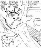 Koala Coloring Animals Wildlife Bear Animal Australian Zoo sketch template