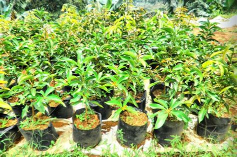 hanifa bird farm saung tales menjual tanaman hias