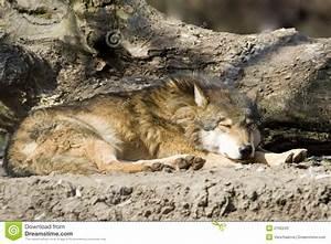 The, Sleeping, Wolf, Stock, Photos