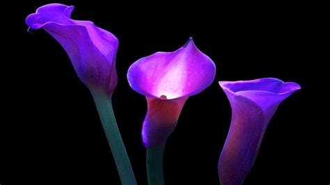 purple calla calla lily wallpapers wallpaper cave