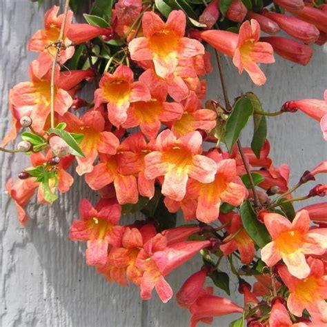 vining plants for sun flowering vines for sun savingourboys info