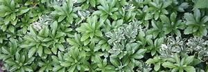 Kletterpflanzen Immergrün Winterhart : unsere bodendecker immergr ne schnellwachsende ~ Michelbontemps.com Haus und Dekorationen
