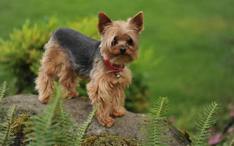 yorkshire terrier dog weneedfun