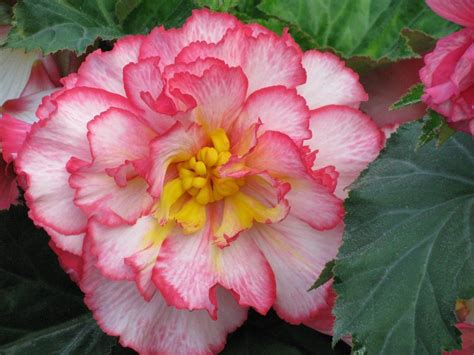 Learn How To Grow Begonias From Corms Or Tubers